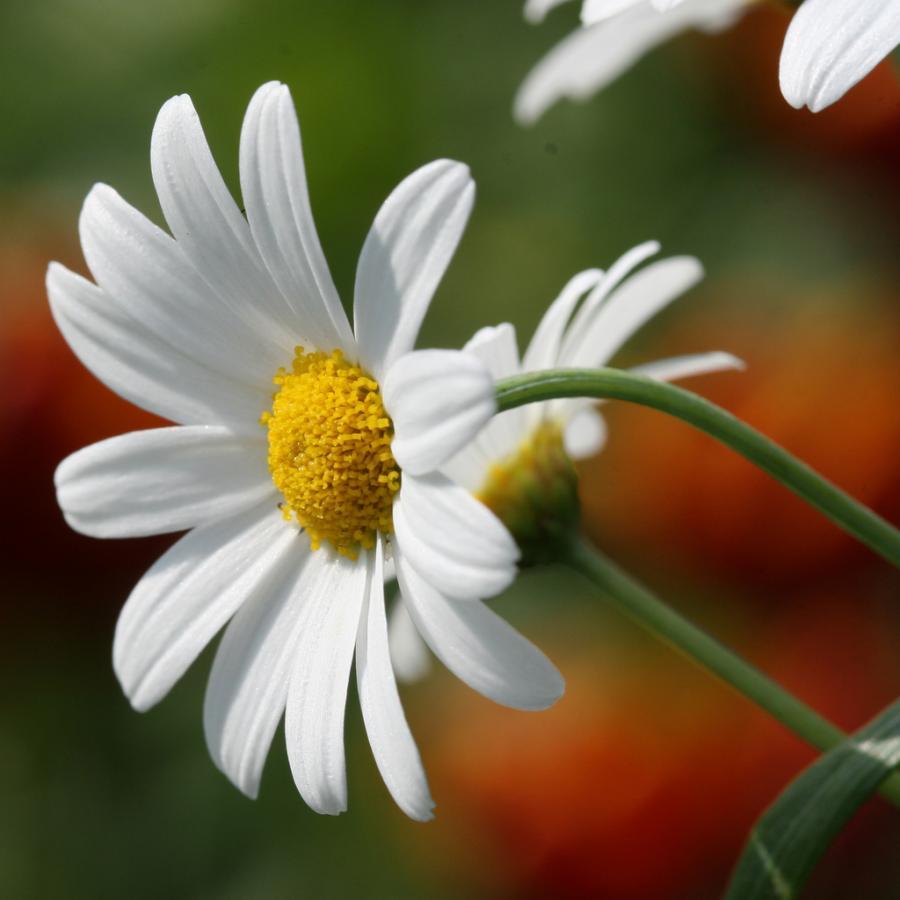 Daisy flowers website design internet marketing wordpress websites daisy flowers izmirmasajfo