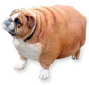 Chubby-Dog-1