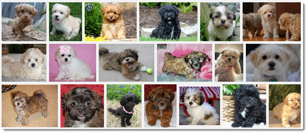 Image Search Results for Shihpoo Puppies