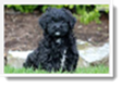 Image Search Black Puppy 1