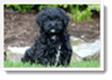 Image Search Black Puppy 1