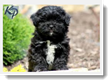 Image Search Black Puppy 2