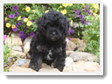 Image Search Black Puppy 3