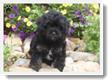 Image Search Black Puppy 3