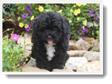 Image Search Black Puppy 4