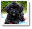 Image Search Black Puppy 5