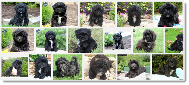 Google Image Search - Refined for Black Puppy Search