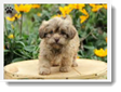 Image Search Brown Puppy 1