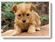 Image Search Brown Puppy 2