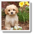 Image Search Brown Puppy 3