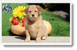 Image Search Brown Puppy 5